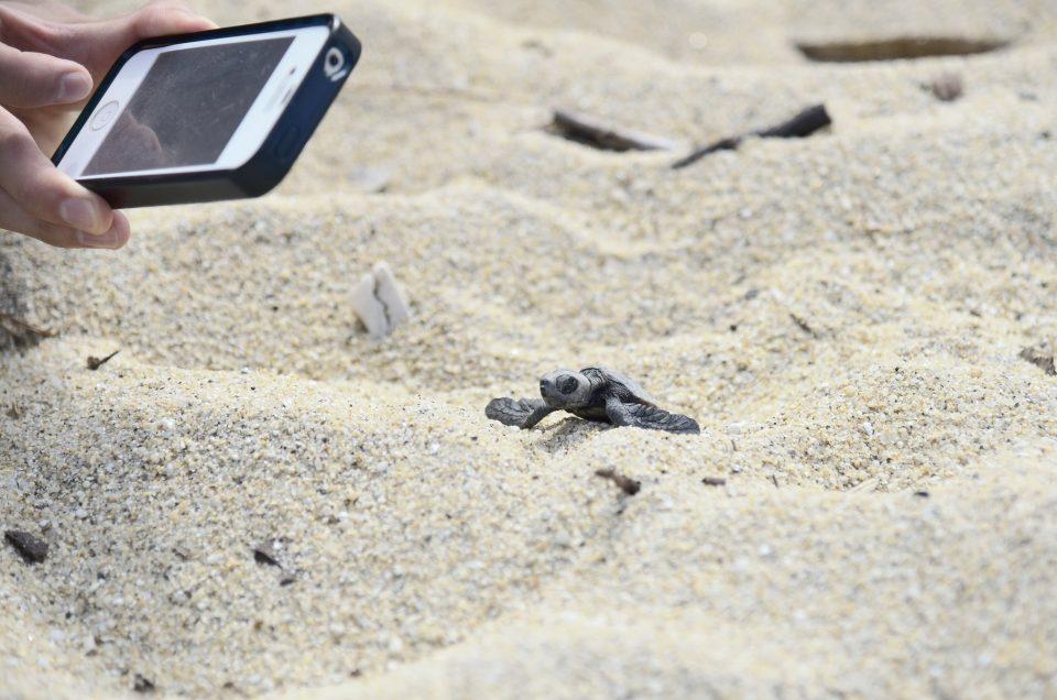 Bighead turtles