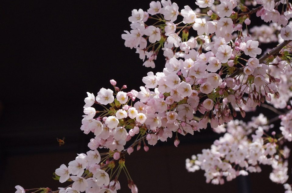 THE 6 BEST PLACES TO SEE SAKURA IN JAPAN